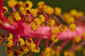 Macro of an orange Hibiscus Royalty Free Stock Photo
