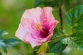 Macro of orange and pink China Rose flower (Chinese hibiscus, Hi Royalty Free Stock Photo