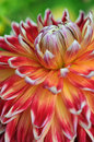 Macro of orange pink white Dahlia Royalty Free Stock Photo