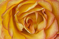 Macro of orange and yellow rose Royalty Free Stock Photo