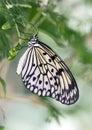 Macro Paper Kite Butterfly