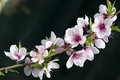 Macro of Peach Blossoms Royalty Free Stock Photography