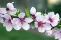 Macro of Peach Blossoms Royalty Free Stock Photo
