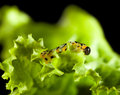 Macro of pest caterpillar eating lettuce leaf on black Royalty Free Stock Image