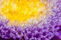 Macro photo of asteraceae flower Royalty Free Stock Photo
