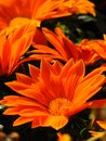 Macro photo background texture orange hues of the petals bright decorative colors of daisies Royalty Free Stock Photo