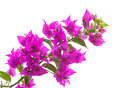 Macro photo of bright bougainvillea flowers isolated on white Royalty Free Stock Photography