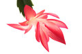 Macro photo of a christmas cactus Royalty Free Stock Image