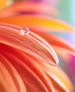 Macro photo of flower with water drop Royalty Free Stock Photos