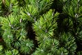 Macro photo of green fir-tree on the background.