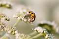 Macro photo orange ladybug. Lady bird on a top white flower. Soft and blurry garden background. Shallow depth of field Royalty Free Stock Photo