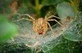 Macro photo of a small spider on web Royalty Free Stock Photos