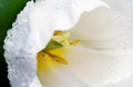 Macro photo white tulip head on a full background horizontal Royalty Free Stock Photo
