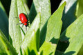 Macro photography of a little insect small beetle crioceris merdigera on lily leaves Royalty Free Stock Image