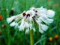 Macro photography of wet dandelion color detail flower after rain Royalty Free Stock Photos