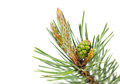 Macro of pine twig with cone and buds isolated on white Stock Images