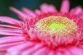 Macro pink daisy Royalty Free Stock Photography