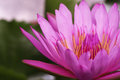 Macro pink lotus flower in the pond Royalty Free Stock Photo
