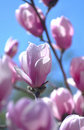 Macro of Pink magnolia flower tree Stock Photo