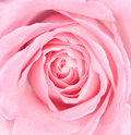 Macro of a Pink Rose Royalty Free Stock Photo