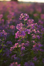 Macro pink wild flowers Royalty Free Stock Images