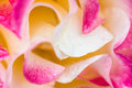 Macro pink, yellow and white rose with dew Royalty Free Stock Photo