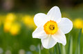 Macro of a poet s daffodil in spring white yellow germany Stock Photography