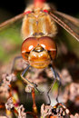 Macro portrait Common darter Royalty Free Stock Images
