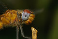 Macro portrait of a dragonfly stock photo or close up Royalty Free Stock Photo