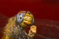 Macro portrait of a dragonfly stock photo or close up Stock Photography