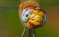 Macro portrait of a dragonfly stock photo or close up Royalty Free Stock Photos