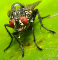 A macro portrait of a housefly on a leaf Stock Photos