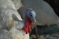 Macro portrait of turkey-cock Royalty Free Stock Photography