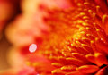 Macro of pretty orange chrysanthemum flower Royalty Free Stock Photos