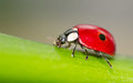 Macro of a red ladybird on green leaf Royalty Free Stock Photos