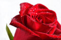 Macro of red rose with water droplets. Royalty Free Stock Photo