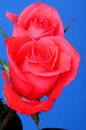 Macro Of A Red Roses