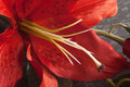 Macro of red tiger lily on script written background petals and pollen Royalty Free Stock Images