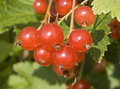 Macro of ripe redcurrant the Royalty Free Stock Photography