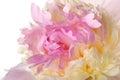 Macro Rose Petals - Yellow Peony