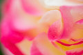 Macro Of Rose, Yellow Pink And...