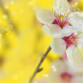 Macro shot of almond flowers blossoms Stock Photography