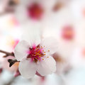 Macro shot of almond flowers blossoms Royalty Free Stock Image