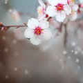 Macro shot of almond flowers blossoms Royalty Free Stock Photo