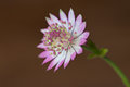 Macro shot of a astrantia major common name great masterwort Stock Photos