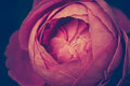 Macro shot of beautiful red rose. Vintage picture style. Royalty Free Stock Photo
