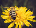 Macro shot of a bee sitting on yellow flower Royalty Free Stock Photo