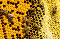 Macro shot of bees in a honeycomb Royalty Free Stock Photo