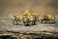 Macro shot of bees swarming Royalty Free Stock Photo