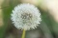 A Macro Shot Of A Dandelion